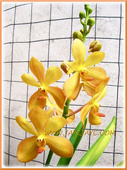 Mokara 'Gold Nugget' orchid in our garden