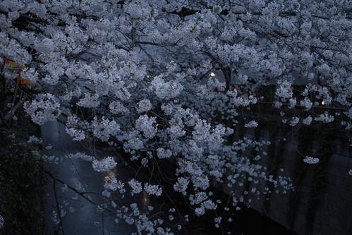 Cherry Blossoms (Meguro River): 桜(目黒川)