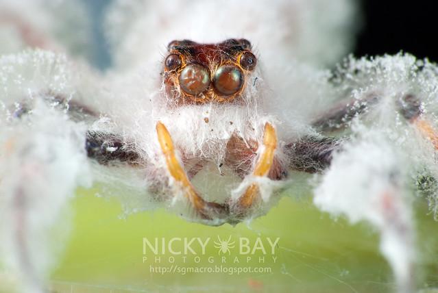 Jumping Spider (Salticidae) - DSC_9032
