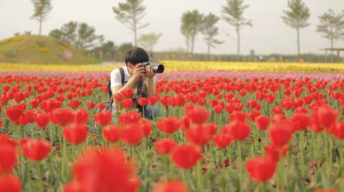 korea-tulips.jpg