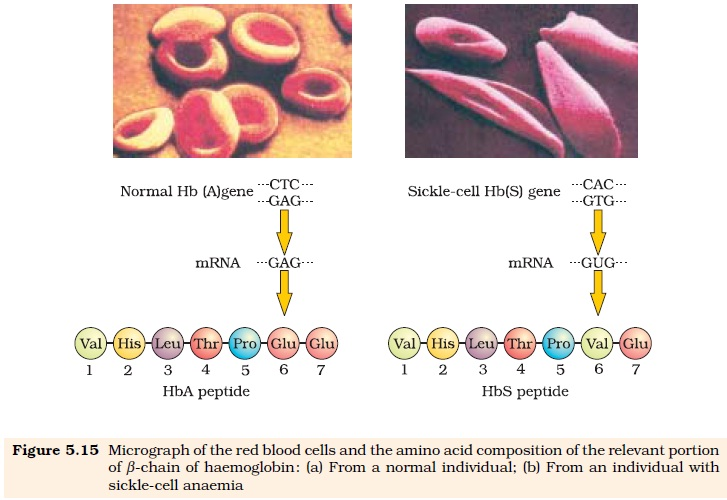 NCERT Class XII Biology Chapter 5 : Principles of Inheritance and