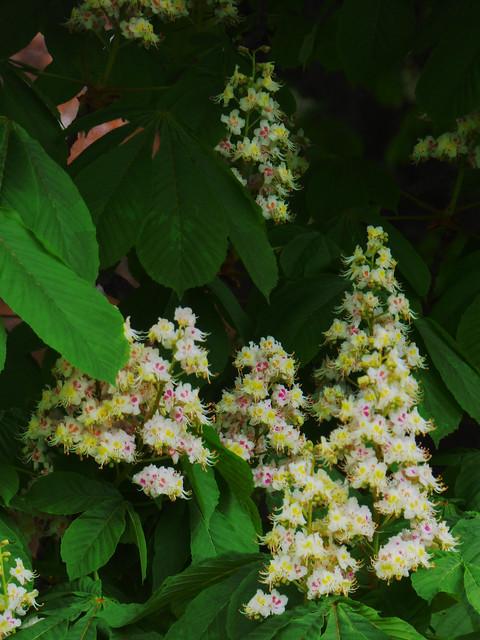Horse Chesnut Flowers