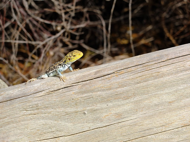 Yellow painted Dragon (Ctenophorus pictus)