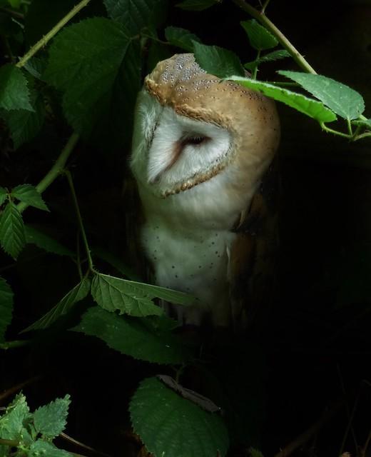 Barn Owl, Panasonic DMC-TZ20