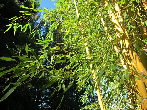 Hakone Japanese Gardens, Saratoga, CA, bamboo IMG_2482