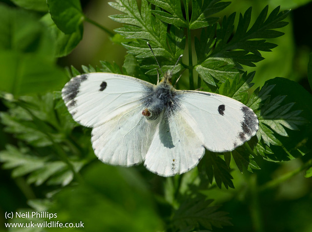 Female orange tip butterfly courting 2