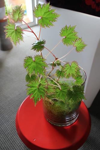 Begonia lyallii var lyallii f.masoalensis