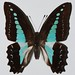 Small photo of Common Blue Bottle (Graphium sarpedon)