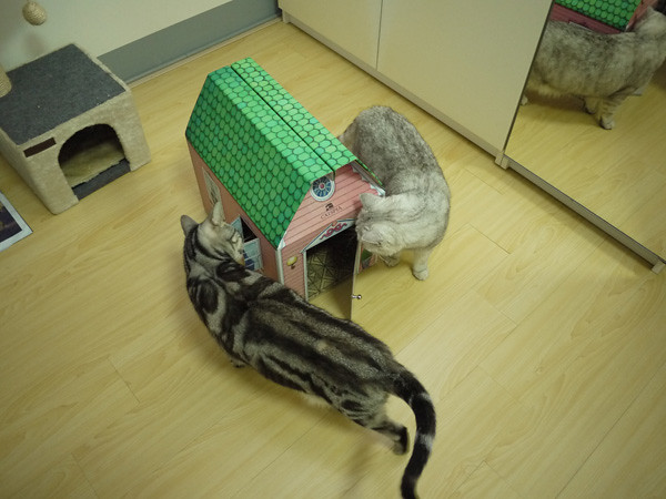 2這是用厚實紙板作的貓別墅喔!貓奴花費了半個小時左右組裝完成,還滿有興的,裝好之後二貓都非常有興趣!繞著房子好幾圈~