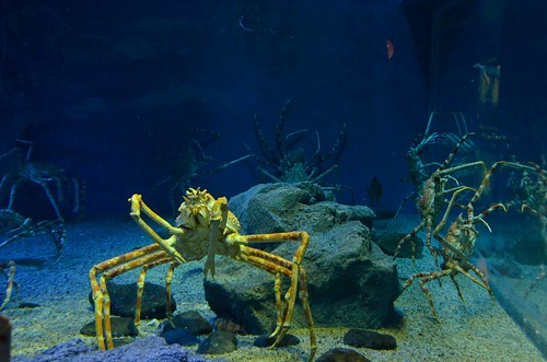 Giant Spider Crabs