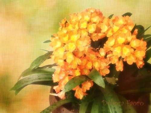 Flores laranjas - Clívia