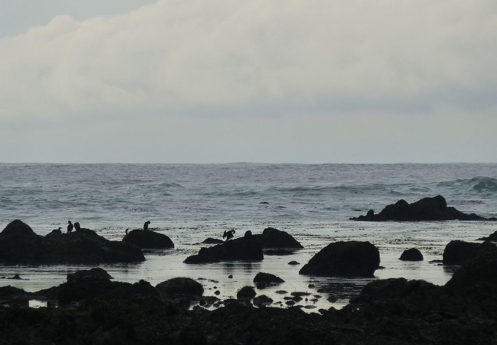 Olympic coast seabirds