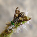 Small photo of Twin-lobed deerfly. Chrysops relictus. Tabanidae
