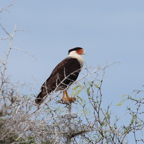 Crested Caracara by ricmcarthur