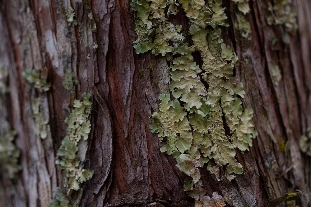 36/365 - Cypress Bark, with Lichen
