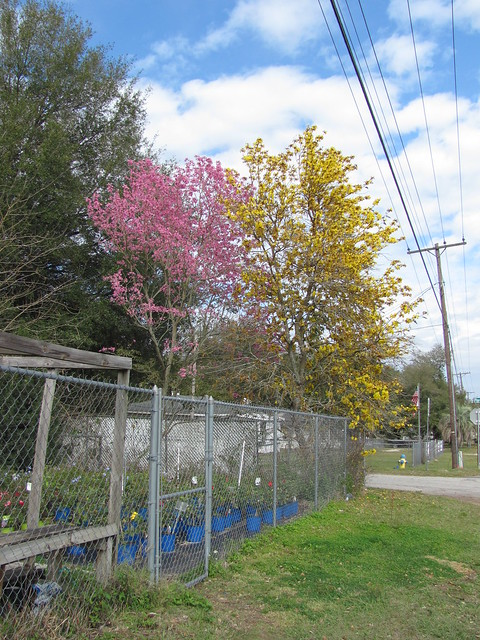 Tabebuia pink and yellow