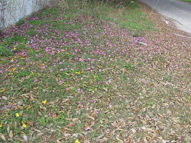 Fallen pink tabebuia leaves