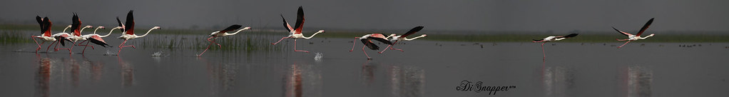 Take off of a Flamingo