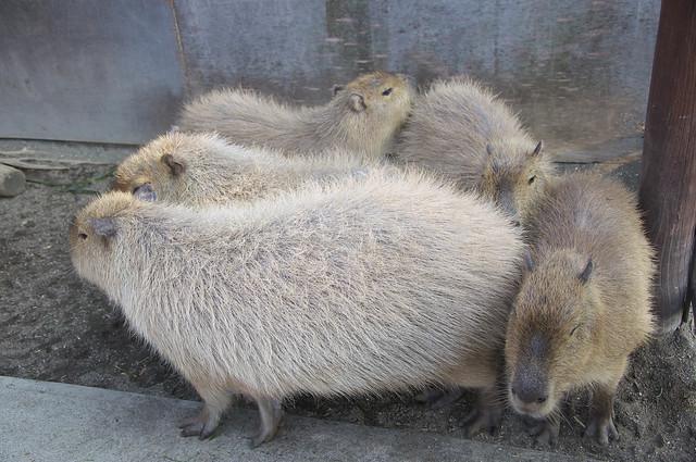 市川市動植物園のカピバラ