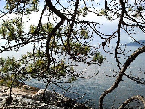 Pinus contorta var. contorta