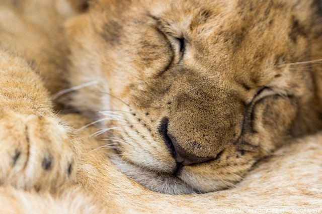 sleeping lion cub | Flickr - Photo Sharing!