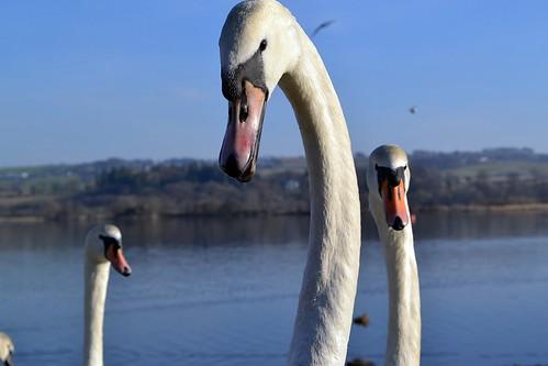 Intimidating Swans