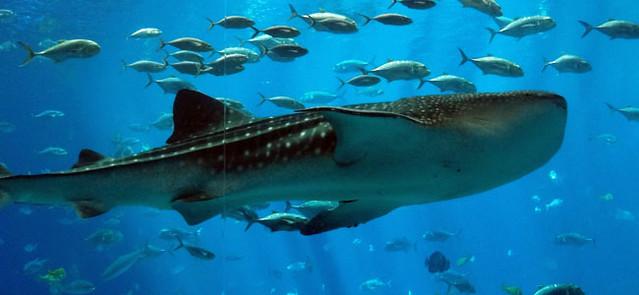 whale-shark-crop