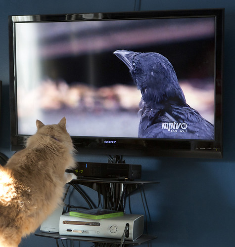 Quincy enjoying the documentary about Crows by Ricky L. Jones Photography