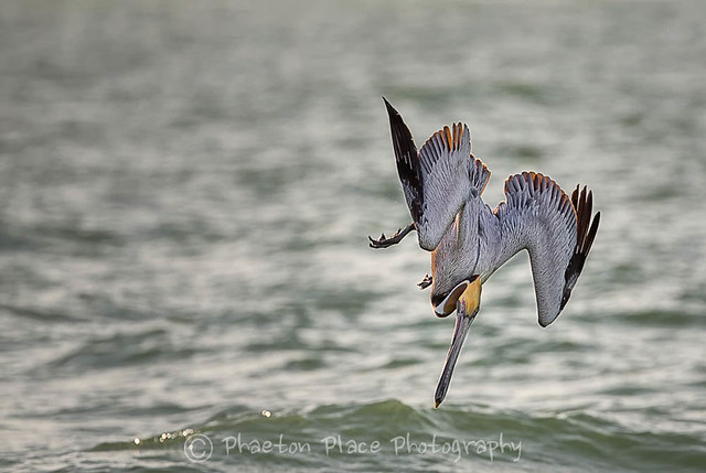 Brown Pelican Before Impact
