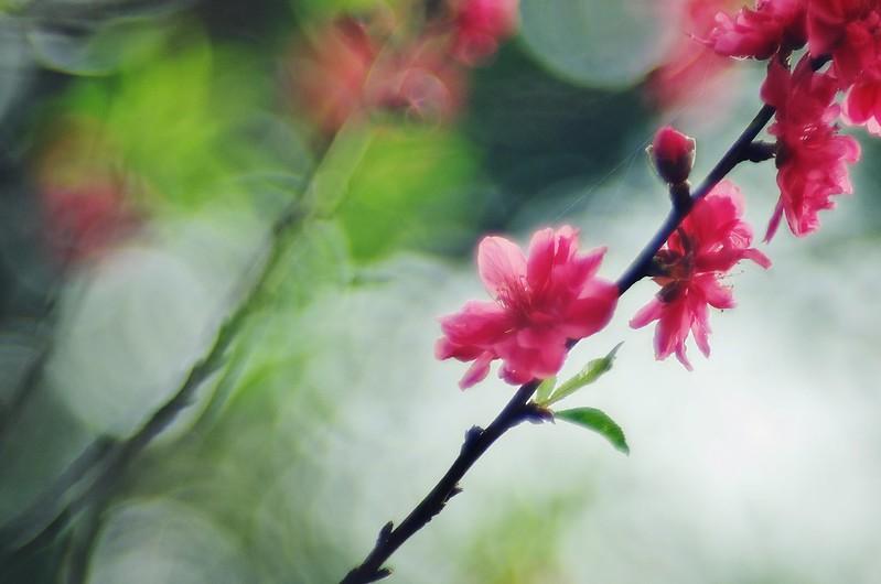 新春花影 ~ 桃花