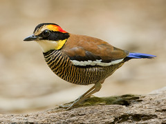 แต้วแล้วลาย Malayan Banded Pitta (female) - Pitta irena by Michael Gillam