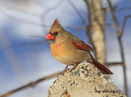 Northern Cardinal by shelshots