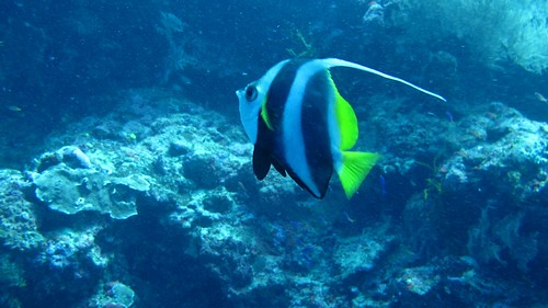 Angelfish in Sipadan