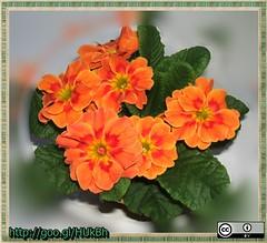 lantana camara(0.0), annual plant(1.0), flower(1.0), plant(1.0), flora(1.0), herbaceous plant(1.0), primula(1.0),