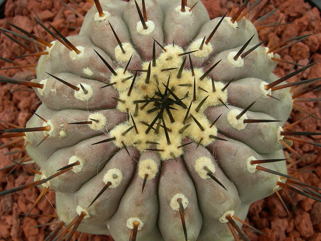 Copiapoa in cultivation 8541666596_5d693a7b39_z