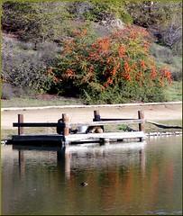 Dock, Yucaipa Reg Park 3-10-13
