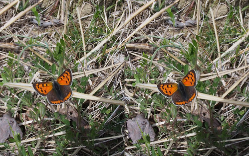 Lycaena phlaeas, stereo parallel view