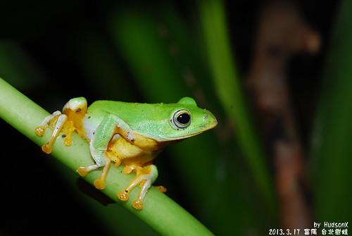 台北樹蛙(14)