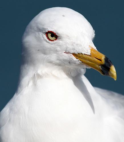 Myrtle Beach Gull 2 by gladner (100,000 views? Thanks!)