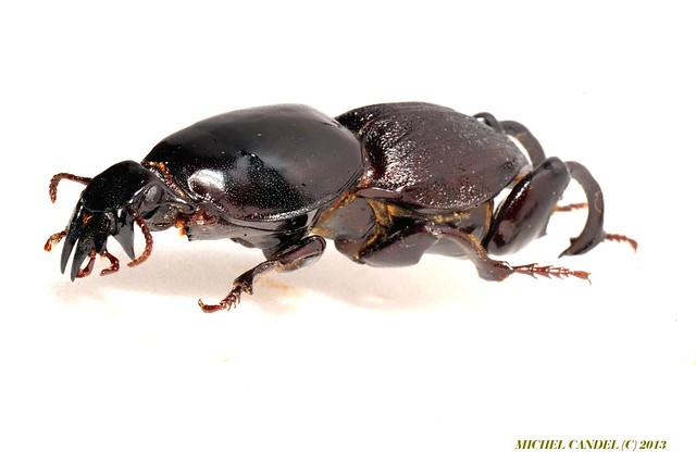 Hypocephalus armatus - mâle - Cérambycidae - Mato grosso - BRESIL