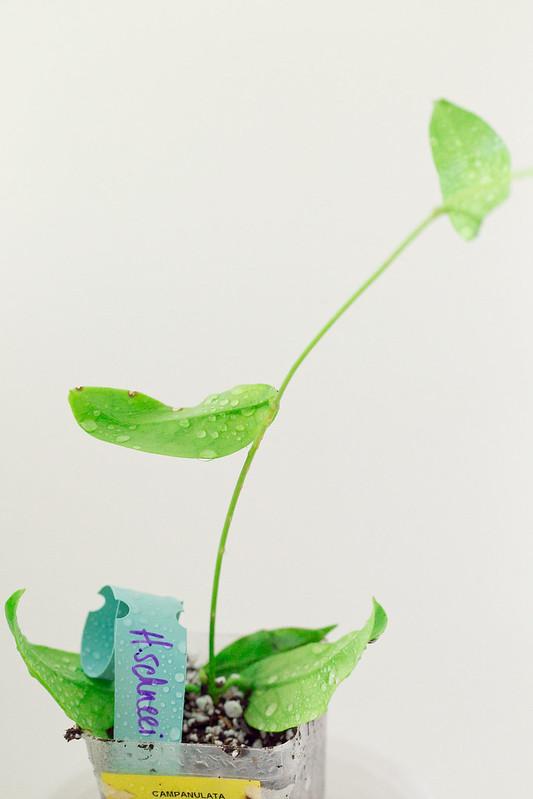 Hoya schneei (SRQ 3046)