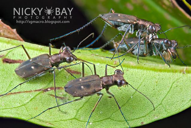Tiger Beetles (Cicindelinae) - DSC_5208