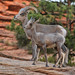 Ovis canadensis nelsoni, Zion National Park, Washington County, Utah 1 by Alan Cressler