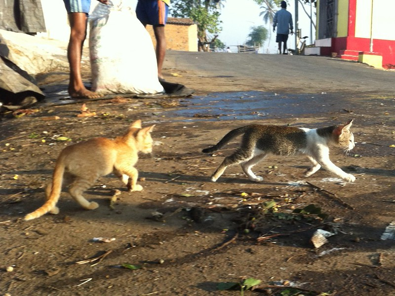 Kitten stealing fish at Madh fort