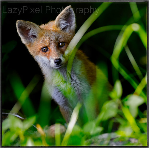 Young and Cute Red Fox