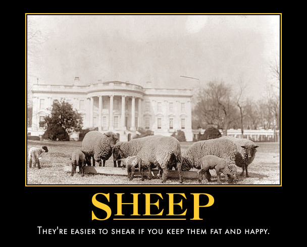 sheep shear