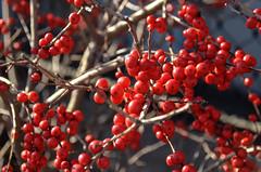shrub(0.0), flower(0.0), plant(0.0), produce(0.0), food(0.0), schisandra(0.0), rose hip(0.0), zante currant(0.0), pink peppercorn(1.0), berry(1.0), branch(1.0), red(1.0), fruit(1.0), rowan(1.0),