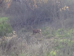 Deer in Malibu Creek State Park