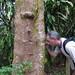 SZ looking at leafy liverworts on Bursera simaruba 2 by scott.zona