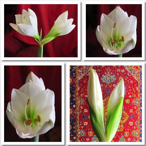 valkoinen amaryllis by Anna Amnell